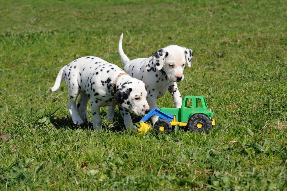 Wie und wo finde ich einen seriösen Dalmatinerwelpen-Züchter?