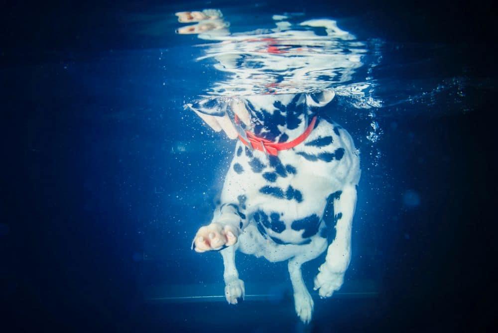 Schwimmen Dalmatiner