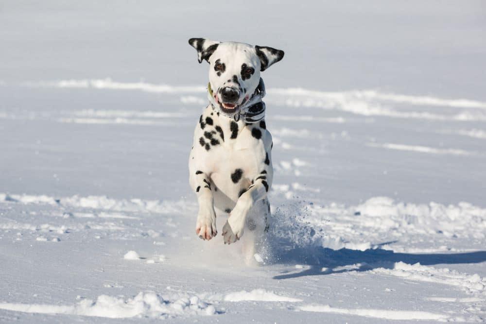 Dalmatiner im Winter beschäftigen