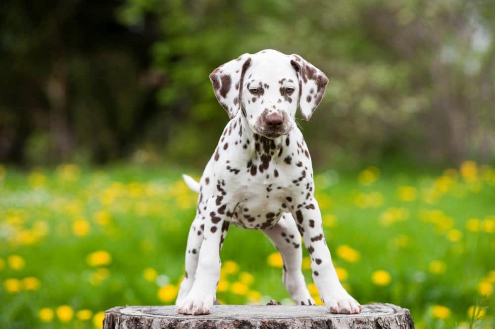 Dalmatinerwelpen stubenrein