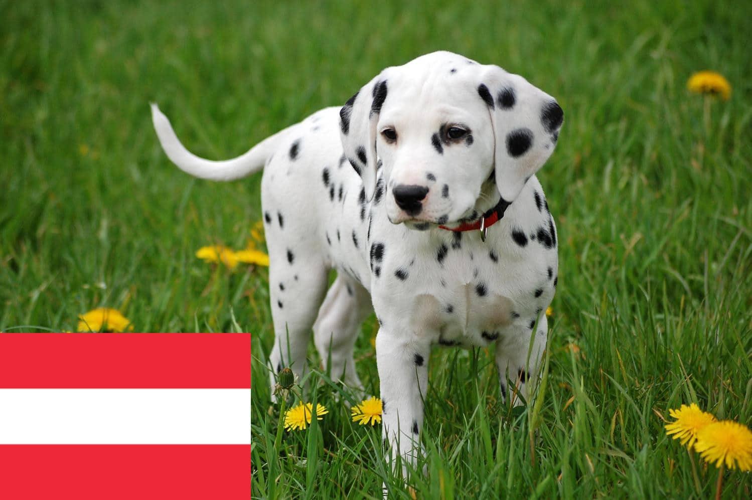 Dalmatiner Zuchter In Osterreich Dalmatinerseite De