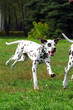 Grown Dalmatian puppy running around and playing in summer Park