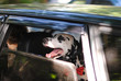 Dog dalmatian in a red bow tie looks out the window of car