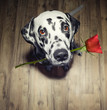 dog in love with red rose in the mouth present it