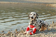 Dalmatian with his toy on a lake shore
