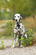 Dalmatian dog is sitting in  nature environment
