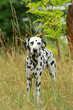 Dalmatian dog is standing in nature in summer