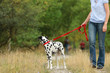 Mature woman is walking a dalmatian dog looking back on a leash  in nature environment