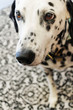 Adorable Black and White Spotted Dog / Dalmatian