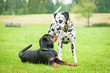 Dalmatian dog with rottweiler puppy