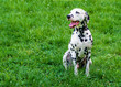 Dalmatian grin.         The Dalmatian is on the green grass.