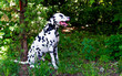 Dalmatian in forest.  The Dalmatian is on the green grass.