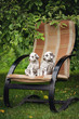 two adorable dalmatian puppies on a chair