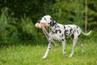 dalmatian dog carrying a toy