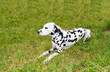Dalmatian lies.  The Dalmatian is on the green grass.